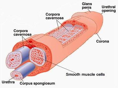 penile anatomy